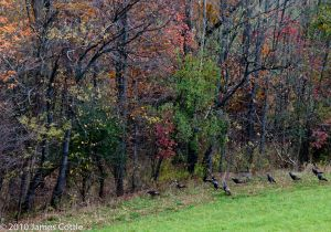 Wild turkeys along the roadside, central Pennsylvania