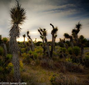 Yucca Forest, Near Lancaster, California